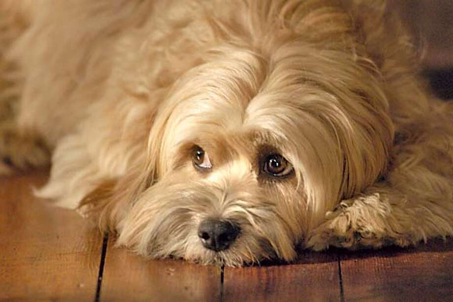 "Benji, the floppy-eared star of ""BENJI OFF THE LEASH"", a major motion picture opening in theaters across the nation on August 20, will have to interrupt a promotional tour for retinal detachment surgery in Chicago on August 2. (PRNewsFoto) *XPRN XPFF* SEE STORY 20040730/NYF100, DA (001163) Media contact: Melany, +1-214-912-8934."