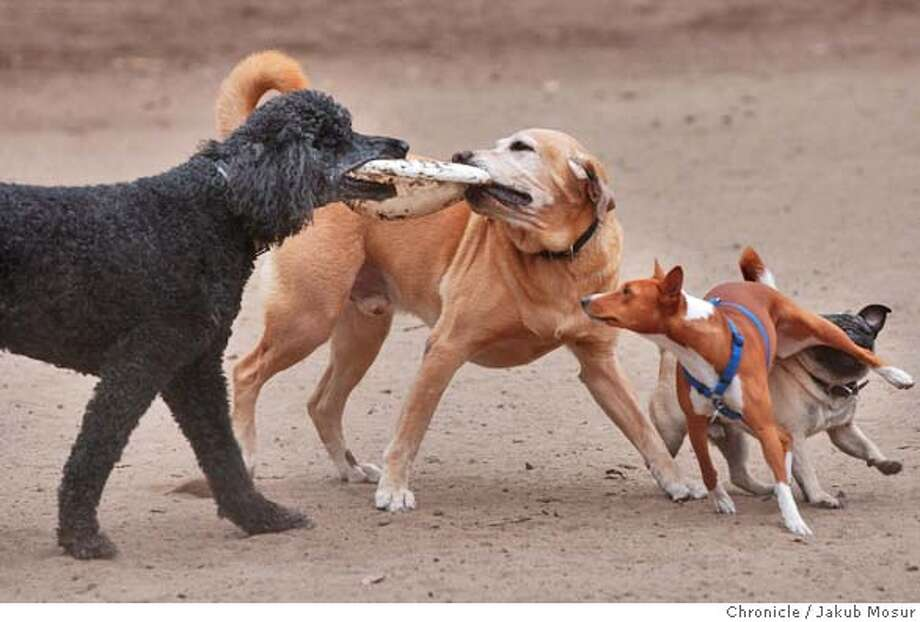 Chaz, a standard poodle, and Tank, a yellow lab, fight for Frisbee as Lolly, an egyptian basenji, and Chico, a pug, try to get in on the action at the Dog Run dog park at the Golden Gate Park on 8/19/04 in San Francisco. JAKUB MOSUR / The Chronicle Photo: JAKUB MOSUR