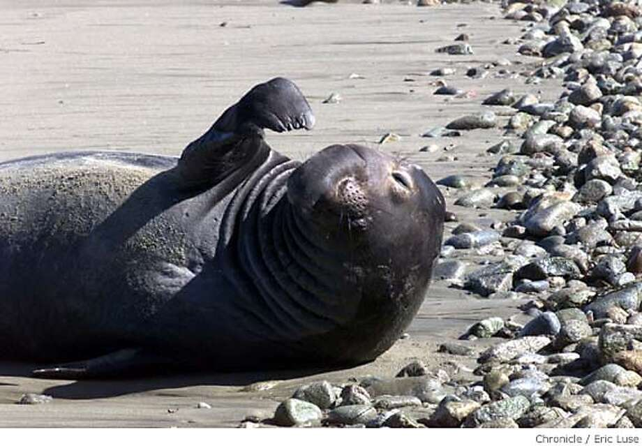 An elephant seal snoozes at A�o Nuevo State Reserve, where a few lucky visitors can observe them while everyone else watches the Super Bowl. Chronicle file photo, 2003, by Eric Luse