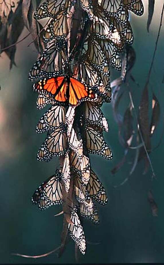 MONARCH /c/30NOV95/CD/VM - monarch butterflys cluster in the eucalyptus trees at the natural bridges monarch natural preserve in santa cruz. by vince maggiora also ran 12/29/00 PN CAT Photo: VINCE MAGGIORA