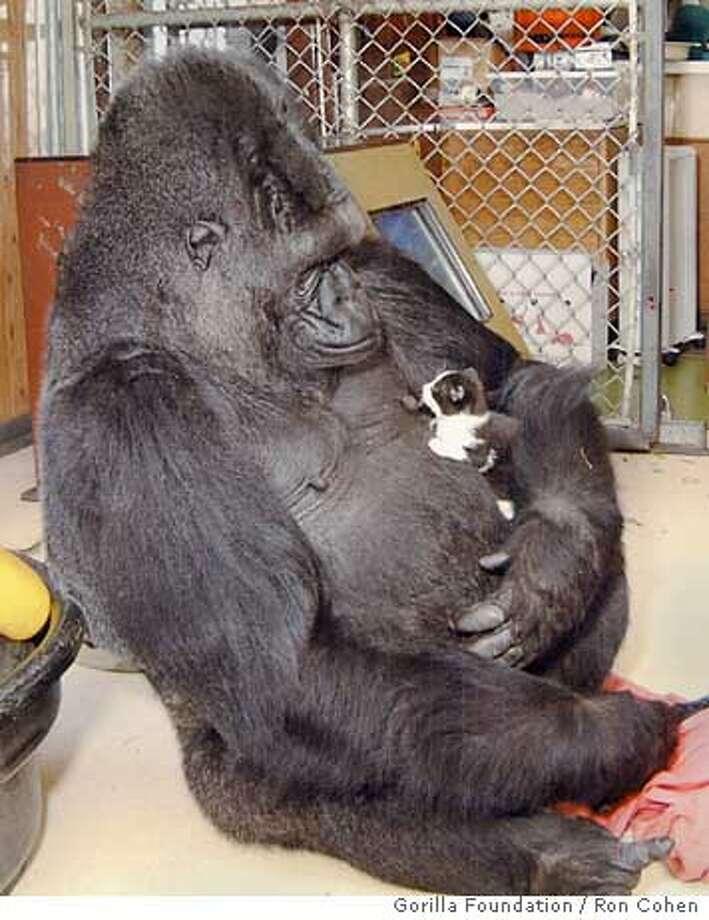 KOKO-C-02AUG00-MN-HO--Koko the gorilla and her kitten. PHOTO CREDIT: RON COHEN/GORILLA FOUNDATION