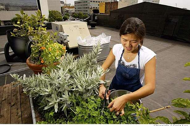 Intern Judy Wu harvesting and picking through the rooftop garden of the Food and Wine department.  Event on 7/30/04 in San Francisco. Craig Lee / The Chronicle