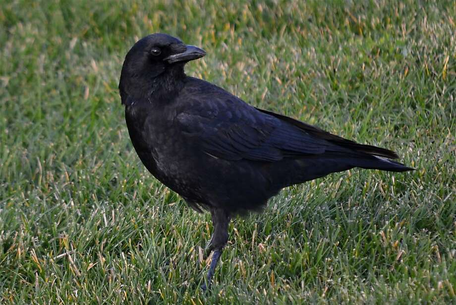 Crow hunting grubs (?) on a lawn, Berkeley. Photo: Ron Sullivan