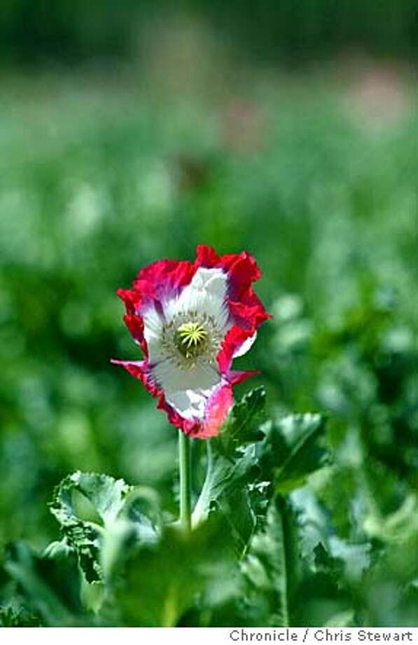 Afghans depending on poppies largest opium harvest in countrys opium0009csg event on 4904 in kabul opium poppies flower mightylinksfo