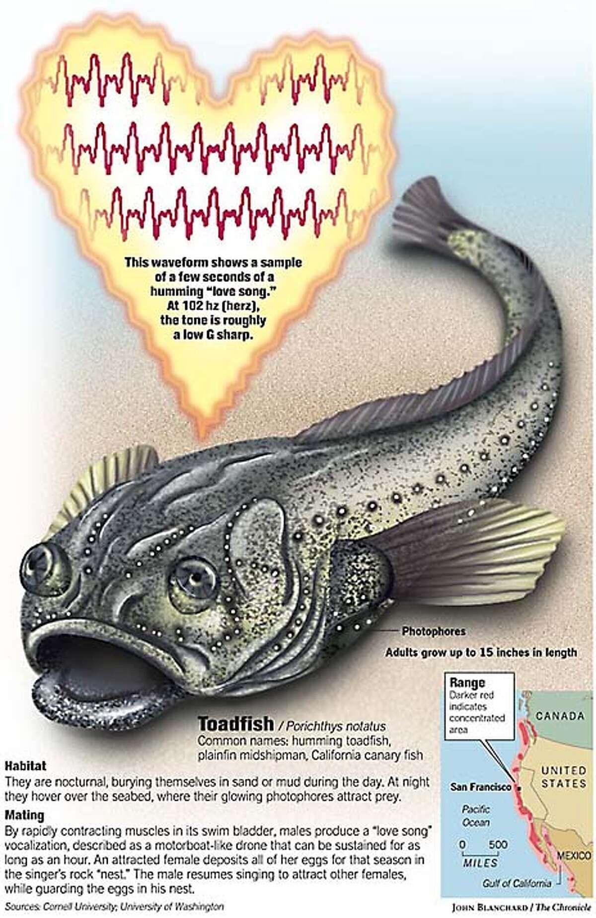 Humming Toadfish. Chronicle graphic by John Blanchard