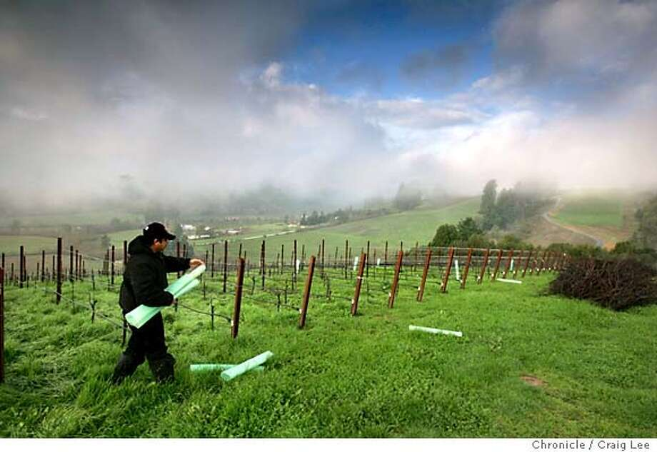 Joseph Phelps winery in Napa is growing Chardonnay and Pinot Noir at a somewhat vineyard in Freestone, a small town southwest of Sebastopol, off Highway 12 on the way to Bodega. Photo of vineyard worker, Juan Manuel Zaragoza, picking up growing tubes, which helps young vines grow under protection, at the vineyard in Freestone.  Event on 12/30/04 in San Francisco. Craig Lee / The Chronicle Photo: Craig Lee