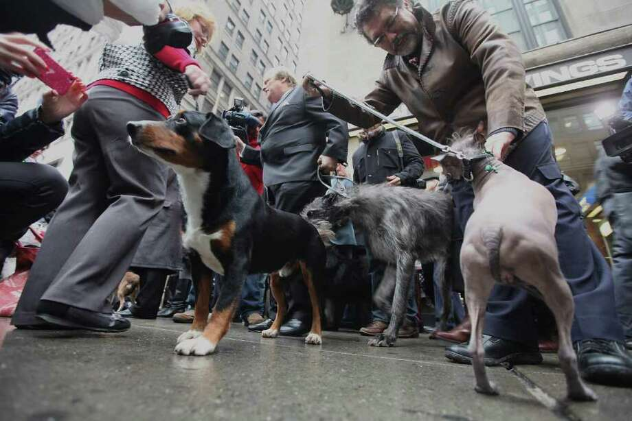 "Dogs prepare for the 136th annual Westinster Kennel Club Dog Show preview ""dog march"" on January 26, 2012 in New York City. The show, which runs February 13-14, previewed six new breeds who will compete in the show for the first time. Photo: Mario Tama, Getty Images / 2012 Getty Images"
