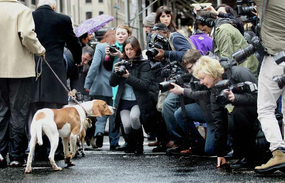 Game Changer, a 17 month old American English Coonhound walks past a media gaggle at the 136th annual Westinster Kennel Club Dog Show preview on January 26, 2012 in New York City. The show, which runs February 13-14, previewed six new breeds who will compete in the show for the first time. Photo: Mario Tama, Getty Images / 2012 Getty Images