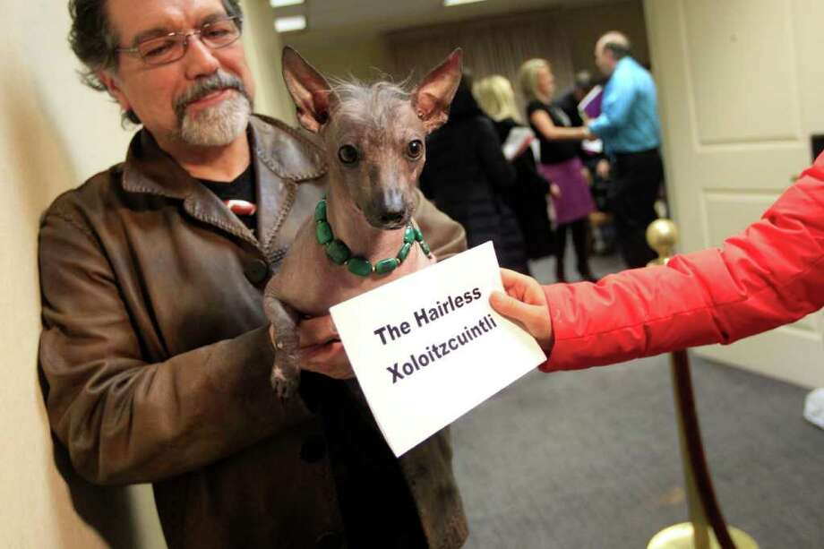 Jose Barrera holds Alma Dulce his 2-year old Xoloitzcuintli during a news conference, Thursday, Jan. 26, 2012 in New York. The Westminster Kennel Club introduced six new breeds in advance of the Westminster Dog Show. Photo: Mary Altaffer, Associated Press / AP
