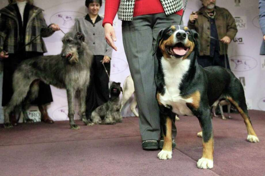 Hoss, a 5-year old Entlebucher Mountain Dog, is photographed during a news conference, Thursday, Jan. 26, 2012, in New York. The Westminster Kennel Club introduced six new breeds in advance of the Westminster Dog Show. Photo: Mary Altaffer, Associated Press / AP