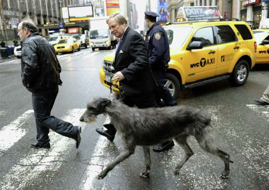 David Frei, Westminster Kennel Club Director of Communications walks, Hickory, the Scottish Deerhound that won Best in Show last year, to promote the  six new breeds of dogs as they arrive in New York January 26, 2012 for a press conference about the upcoming 136th annual Westminster Kennel Club Dog Show to take place at Madison Square Garden. Photo: TIMOTHY A. CLARY, AFP/Getty Images / AFP