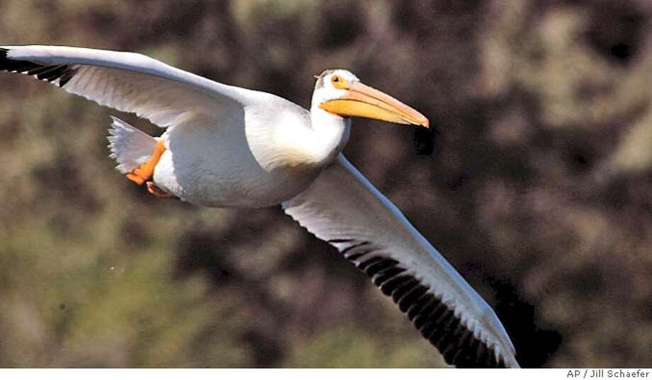 ** ADVANCE FOR WEEKEND JULY 10-11 ** A white pelican takes flight at the Minidoka National Wildlife Refuge on Thursday, June 24, 2004. The refuge is the only protected nesting grounds for pelican in Idaho. The park is a pleasant and well-maintained place to camp, picnic, fish, watch rare birds and hike. A third of the lake is open to boating. The rest is devoted exclusively to wildlife. Birds are the main attraction at the park and refuge. (AP Photo/Idaho State Journal, Bill Schaefer) ADVANCE FOR WEEKEND JULY 10-11 Photo: BILL SCHAEFER
