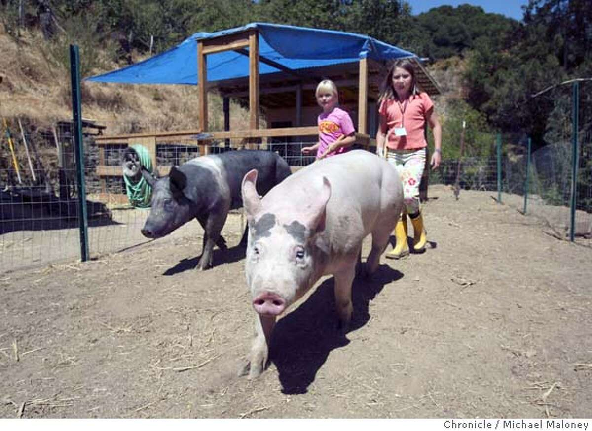 """Seven year old Kendall (cq) Post (left) and nine year old Katie Ferguson take """"Oreo"""" and """"Hank"""" (foreground) for a walk in their Oakland hills pen. From their backyard near Merritt College in the Oakland hills, Ron Post's two kids and their friends have raised four piglets � Hank, Pig, Kahlina and Oreo -- and have entered them in the 4H Club livestock competition at the Alameda County Fair. A fair spokeswoman said it's the first time anyone from Oakland has entered the livestock competition for at least three decades. Nearly all of the other pigs come from ranches or semi-rural areas in the southeastern parts of the county. Photo by Michael Maloney / San Francisco Chronicle"""