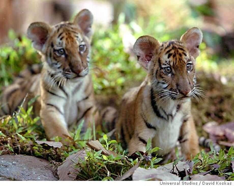 "** ADVANCE FOR THURSDAY JUNE 24 **Tiger cubs Kumal and Sangha, stars of Universal Studios family adventure ""Two Brothers,"" appear in this undated promotional photo. The film, directed by Jean-Jacques Annaud, who made the 1988 wildlife drama ""The Bear,"" chronicles two tiger siblings who are reunited in adulthood after being snatched into the human world .(AP Photo/Universal Studios, David Koskas, HO) Photo: DAVID KOSKAS"
