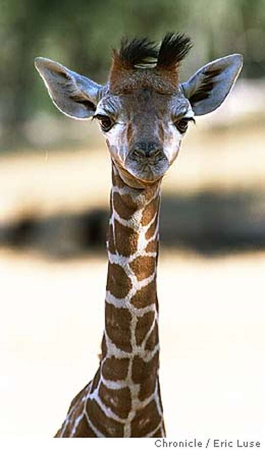 GIRAFFE1/C/12AUG98/MN/EL = Baby giraffe was born on August 9, at Safari West in Sonoma COunty. Later makes Oakland Zoo new home. PHOTO BY ERIC LUSE/THE CHRONICLE ALSO RAN: 01/22/1999 Photo: ERIC LUSE