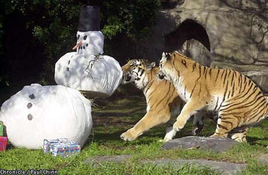 """Tony and Emily made mincemeat out of a """"snowman"""" containing straw, bones, bison hair and sheep's wool. The tigers also unwrapped gifts containing raw meat. The residents at the SF Zoo were treated to their annual holiday season feast.  PAUL CHINN/S.F. CHRONICLE Photo: PAUL CHINN"""