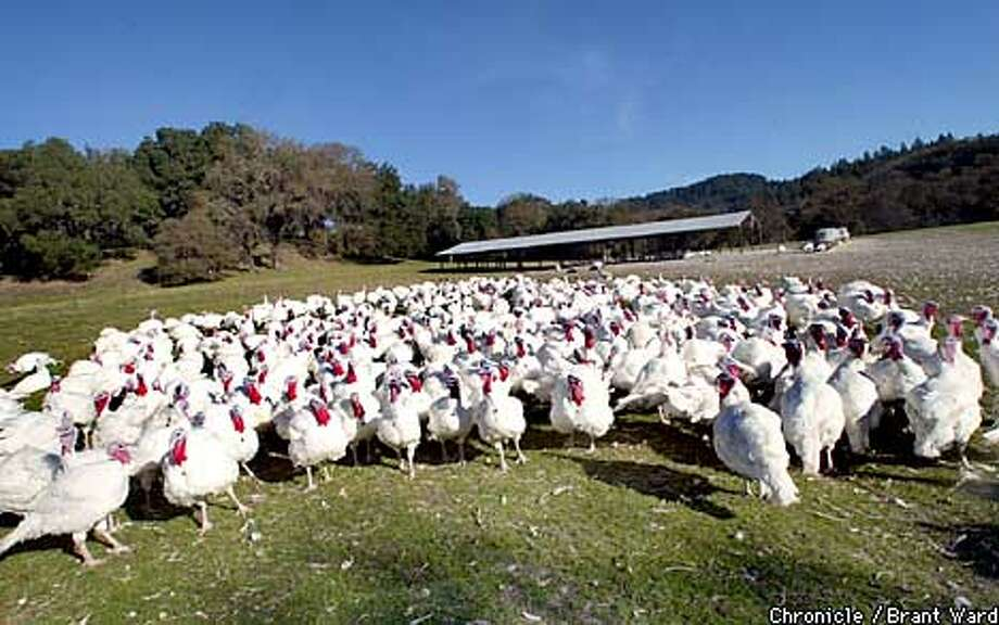 TURKEY2-27NOV02-BU-BW--A flock of big tom turkeys at the farms of Willie Benedetti in Santa Rosa...these free range turkeys were the lucky ones and will wait until Christmas before going to market. By Brant Ward/Chronicle Photo: BRANT WARD