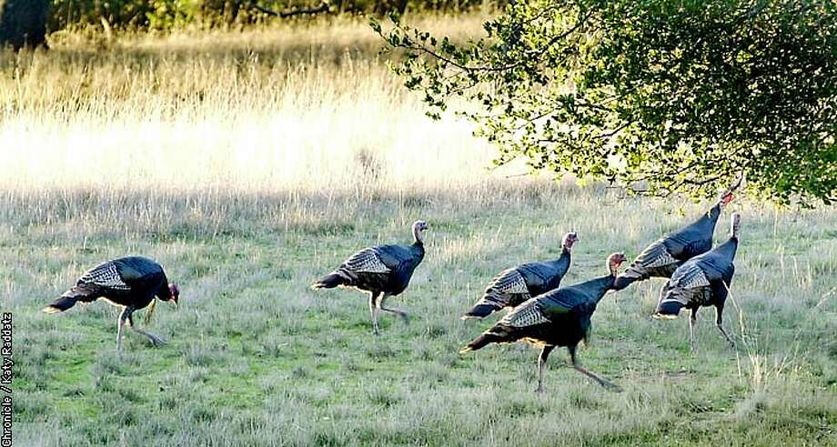 PHOTO BY KATY RADDATZ--THE CHRONICLE  Wild turkeys are multiplying on watershed land on Mt. Tamalpais. the Marin Municipal Water District wants to get rid of them, but how? SHOWN: a small flock of the wild turkeys in the late afternoon. Photo: KATY RADDATZ