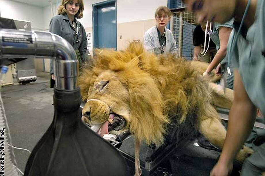 TUNYA THE LION IS EVALUATED FOR BACK SURGERY AT THE VET SCHOOL AT UC DAVIS  -----CHRONICLE PHOTO BY CHRIS HARDY Photo: Chris Hardy