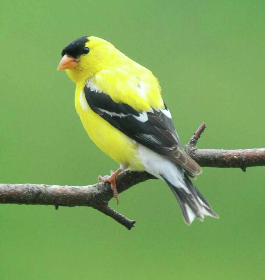 change of feather helps goldfinches stay together times union