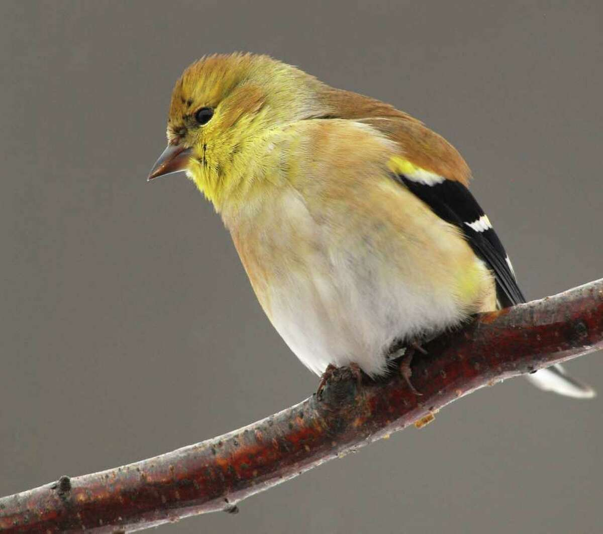 Bill Danielson photos The male American goldfinch boasts a bright color scheme during the summer breeding season, but adopts a more subdued look during winter, when goldfinches tend to flock together.