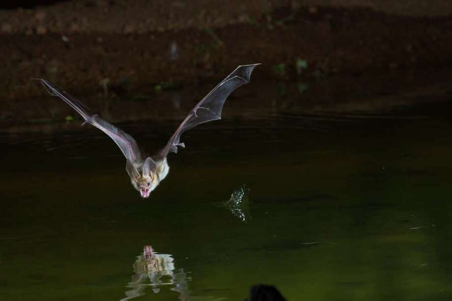 Bats are a vital part of a healthy eco-system.  The United Nations has designated 2011-2012 the International Year of the Bat.  This pallid bat swoops down for a drink of water over a pond in Arizona at night.  Photo Credit:  Kathy Adams Clark.  Restricted use. Photo: Kathy Adams Clark / Kathy Adams Clark/KAC Productions