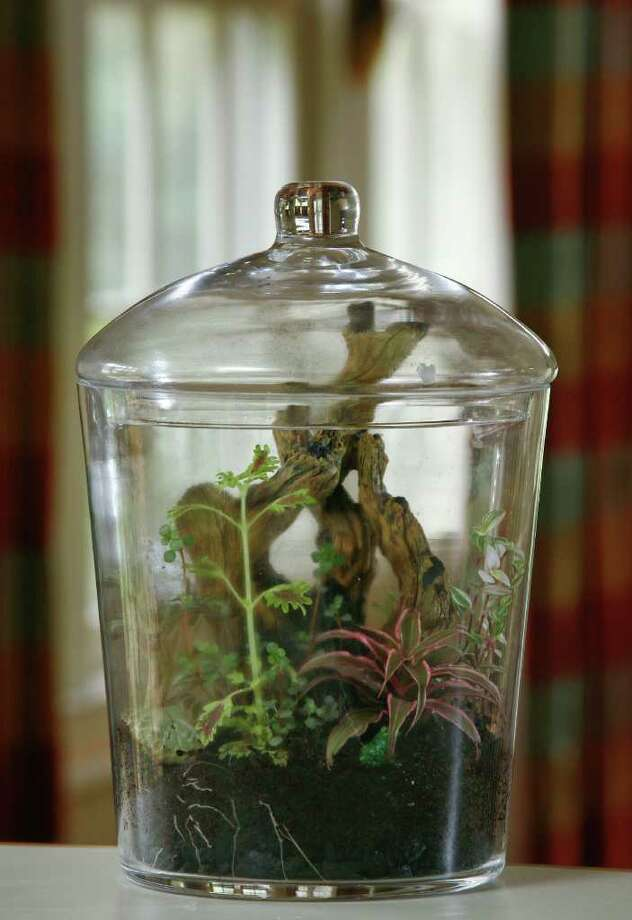 Lynn Huber's woodsy terrarium scene includes ducksfoot coleus, chocolate plant, pilea, earth star, selaginella, aquarium wood and a miniature frog. Photo: John Everett / John Everett