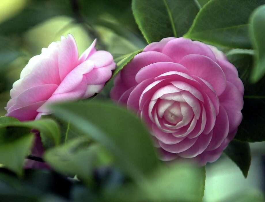 Camellias are handsome accents in the garden. Photo: DIEDRA LAIRD / CHARLOTTE OBSERVER