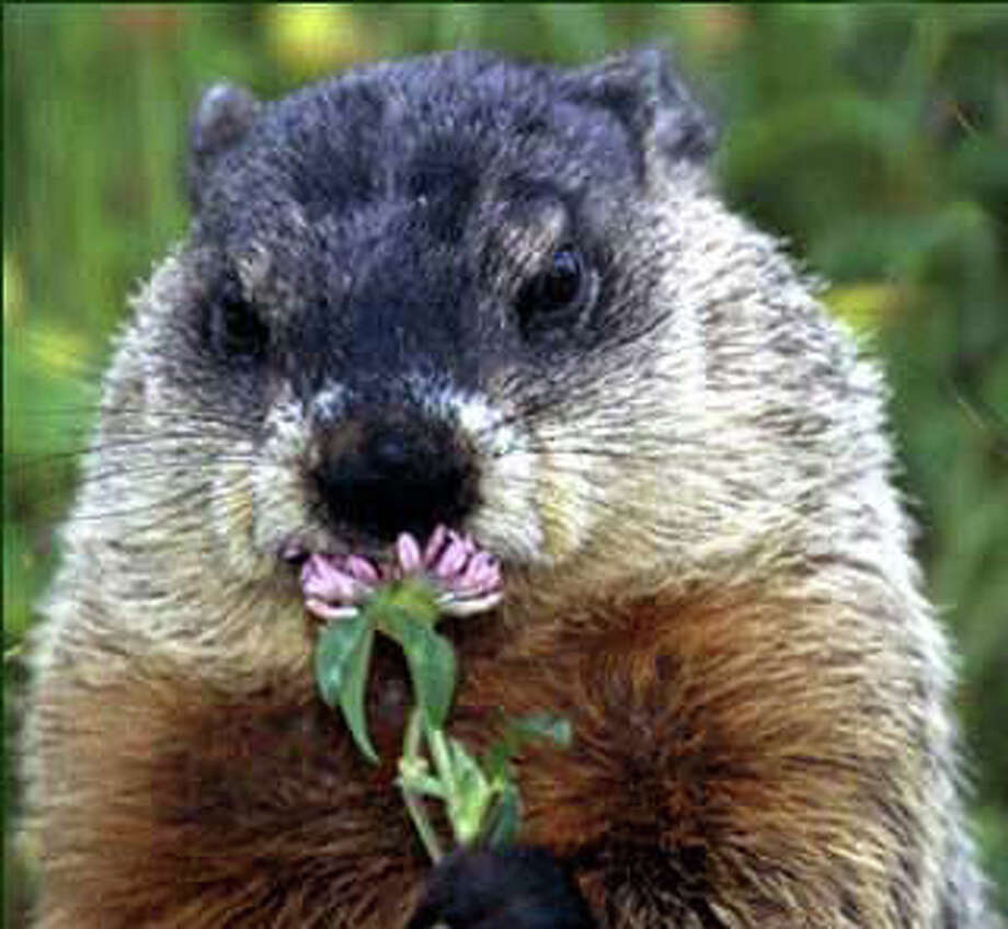 Darien Nature Center will offer a program on winter animals, like groundhogs, during its winter break program. Photo: Contributed Photo