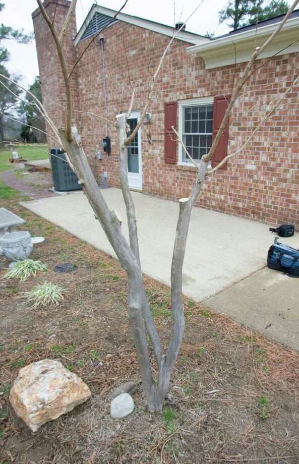 A properly pruned crape myrtle does not need an annual pruning. Photo: Dave Bowman, MBR / Newport News Daily Press