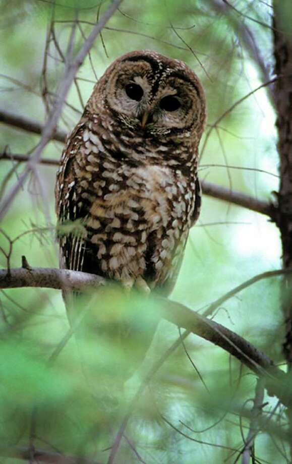 Owls, such as this Mexican spotted owl, rid yards of field mice, moles and grasshoppers. Photo: Anonymous, HOEP / AP2003
