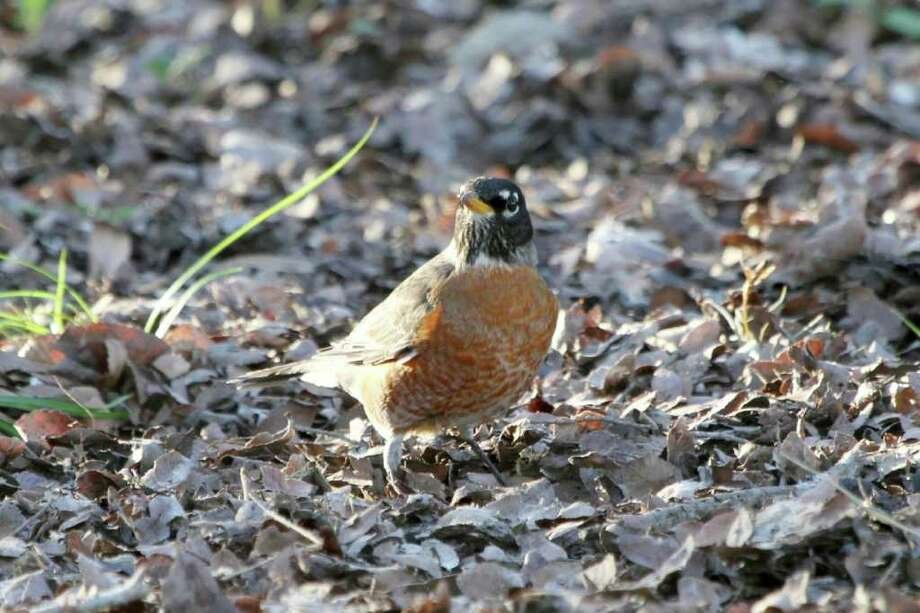 The easiest way to photograph a robin is to use a telephoto lens. Photo: For The Express-News, Forrest Mims III
