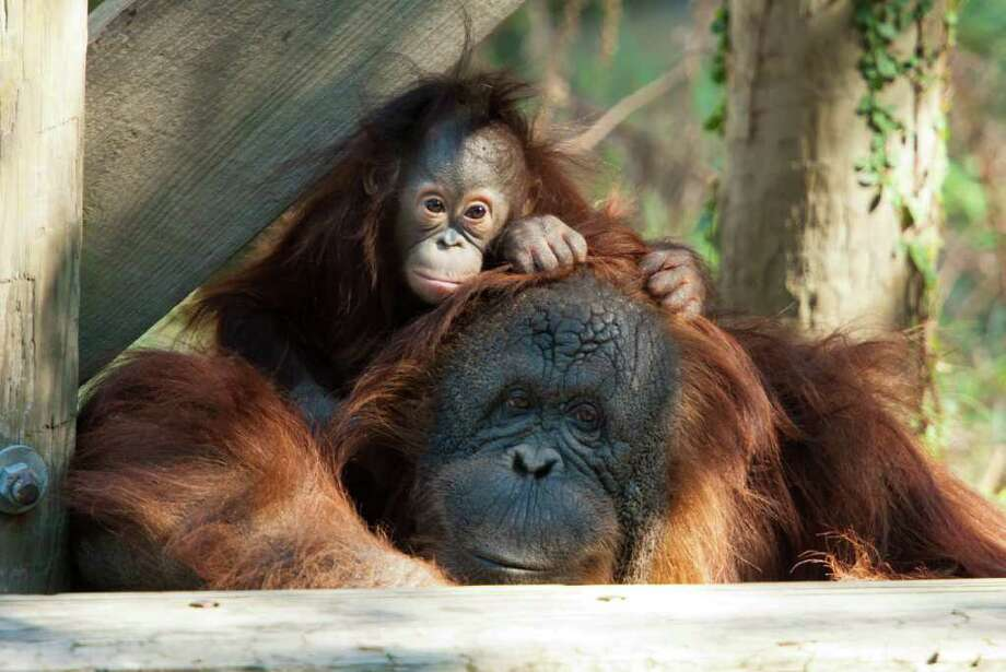 Ten month old Aurora and her surrogate mom Cheyenne enjoy a quiet moment in the orangutan habitat at the Houston Zoo s Wortham World of Primates. Photo: Houston Zoo