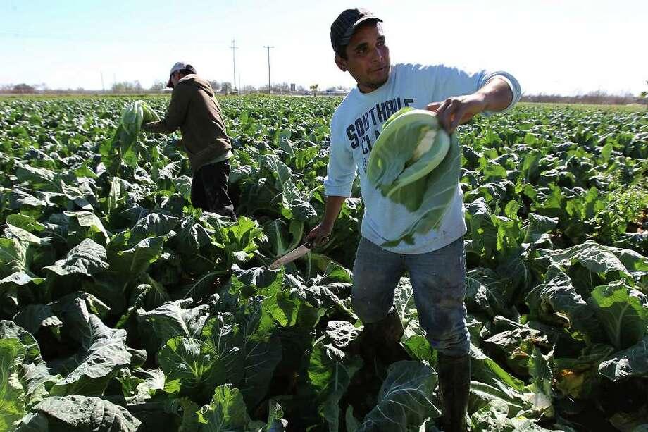 Farm workers harvest a field of cauliflower at Verstuyft Farms in South Bexar County on Friday, Jan. 27, 2012. Kin Man Hui/San Antonio Express-News Photo: Kin Man Hui, San Antonio Express-News / San Antonio Express-News