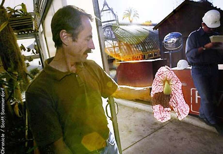 James E. Henrich - Curator of the Conservatory of Flowers holds the petals of the Aristolochia Gigantea (or Dutchman's Pipe). This is the plant that looks like a slab of meat hanging in a tree. It has a pungeant odor that attracts insects to be eaten. SF CHRONICLE PHOTO BY SCOTT SOMMERDORF