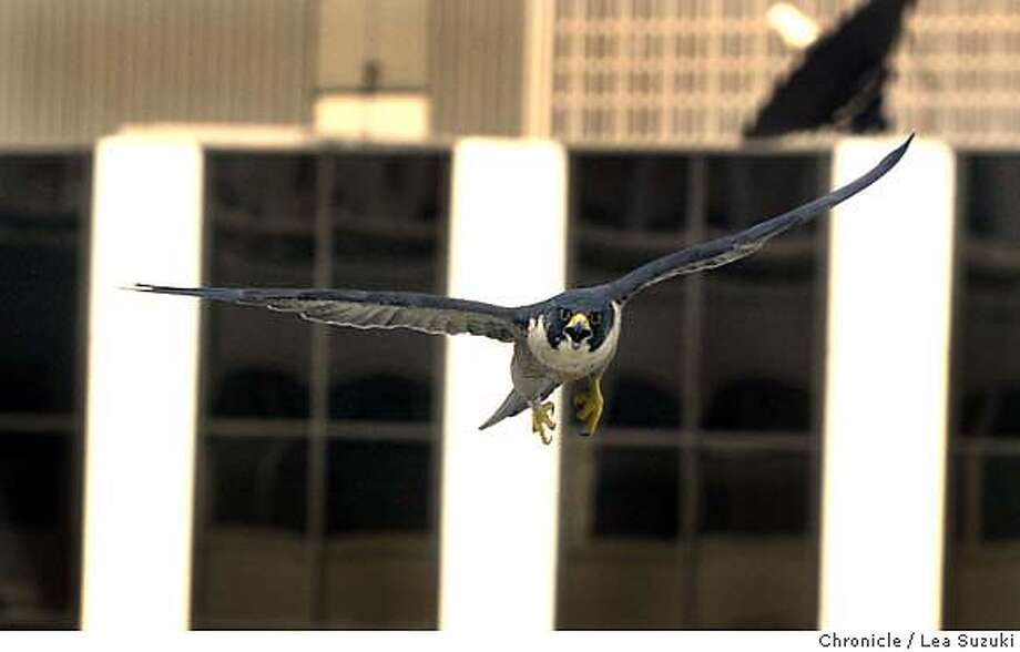 One of the parent peregrines. Some scientists from the UC Santa Cruz Predatory Bird Research Group will be banding peregrine falcon nestlings at the PG&E skyscraper at 77 Beale, corner of Beale and Market, SF. Peregrines, once on the brink of extinction, are coming back well, and thriving particularly in cities, where there are plenty of scurvy pigeons to eat, and lots of building ledges to nest on--they like skyscrapers, since they resemble the cliffs they nest on in the wild. We anticipate the ma and pa peregrines are going to dive bomb the crap out of the scientists as they band the young  Photo taken on 05/10/04, in San Francisco, CA.  Photo By LEA SUZUKI / The San Francisco Chronicle Photo: LEA SUZUKI
