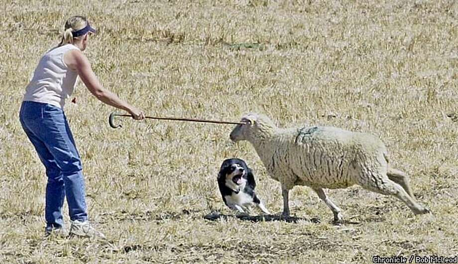 Judy Loslin of Porterville (Tulare County) and her dog Jess try to show who's in charge to sheep in Rio Vista. Chronicle photo by Bob McLeod