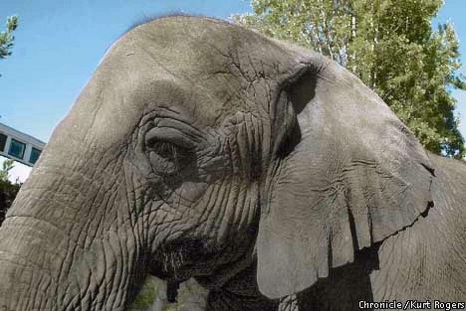 Tika, Marine World's 24 year old pregnant elephant on her morning walk arround the park .Photo By Kurt Rogers Photo: Kurt Rogers