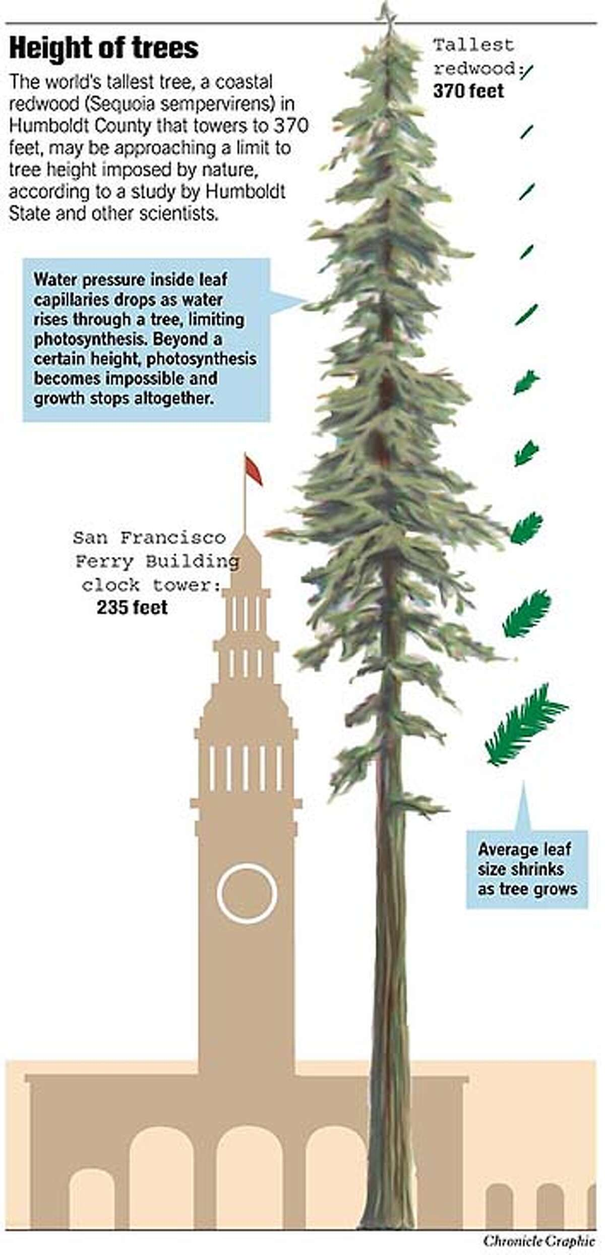 Height of Trees. Chronicle Graphic