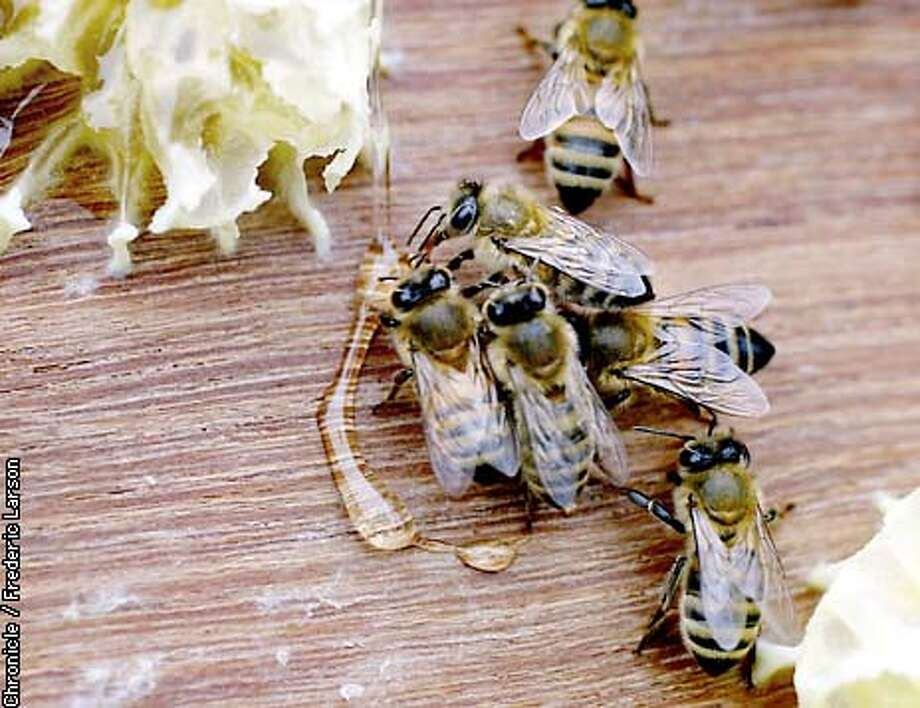 : Bee's making honey at the Clipper Garden in Upper Noe Valley, one of several locations in SF where bee hives are located. Chronicle photo by Frederic Larson Photo: FREDERIC LARSON