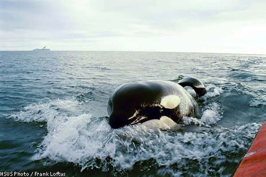 KEIKO THE KILLER WHALE OFF ICELANDIC COAST Photo: HO