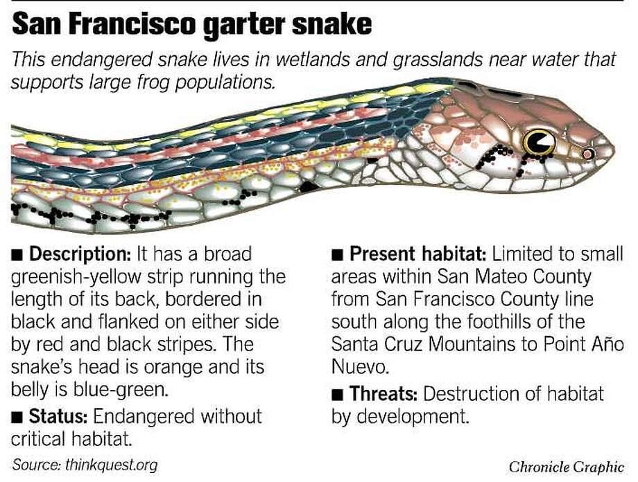 San Francisco Garter Snake. Chronicle Graphic Photo: John Blanchard