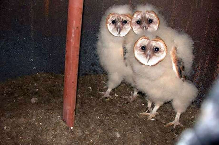 Owls_001_HO.JPG  Photos of three baby owls found in a nest in the new construction of the Martinez/Benicia Bridge. The parent owl's had nested about a month ago, inside a reinforcement steel cage, of partially constructed Pier 5, of the New Benicia-Martinez Bridge, Project (about 140 feet above the ground and near the Martinez shoreline). The babies have been relocated nearby, but the parents have not reunited with the babies in the new nest. Photo taken on 5/26/04 in Martinez, CA. Photo by {photo} / The San Francisco Chronicle MANDATORY CREDIT FOR PHOTOG AND SF CHRONICLE/ -MAGS OUT Photo: Handout Photo, Special To