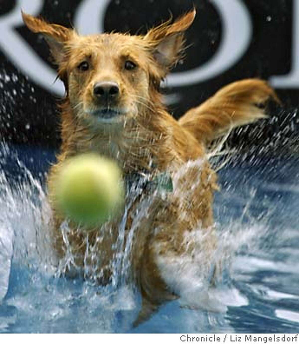 No. 2 in SF: Golden retrievers Sierra, a 3-year-old Golden Retriever, keeps her eye on the ball as she practices diving into the pool set up for a diving event at Golden Gate Park.