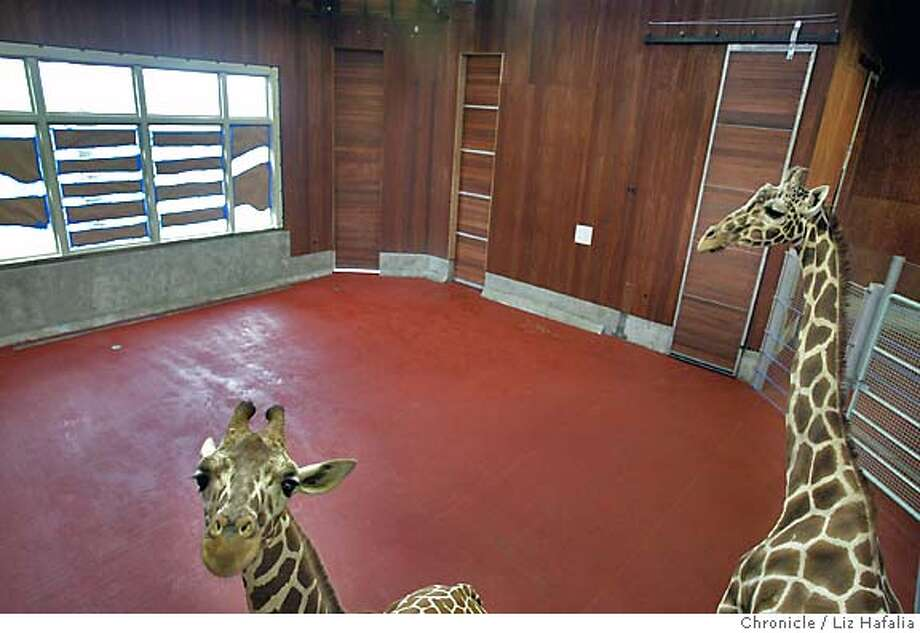 The San Francisco Zoo is opening a new exhibit this Saturday and the giraffes are moving into the Bernard Osher Foundation Giraffe Lodge today. Kristin (lft), almost 2 years old, and Patricia (right), 26 years old, checks out their new home. Shot on 5/25/04 in San Francisco. LIZ HAFALIA / The Chronicle Photo: LIZ HAFALIA