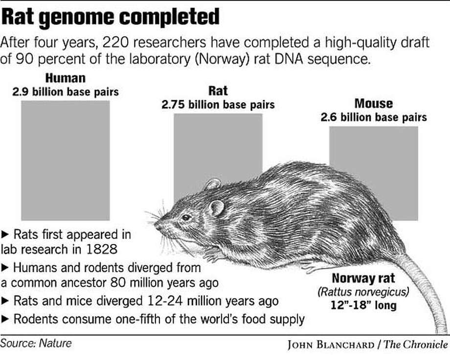 Rat Genome Completed. Chronicle graphic by John Blanchard Photo: John Blanchard