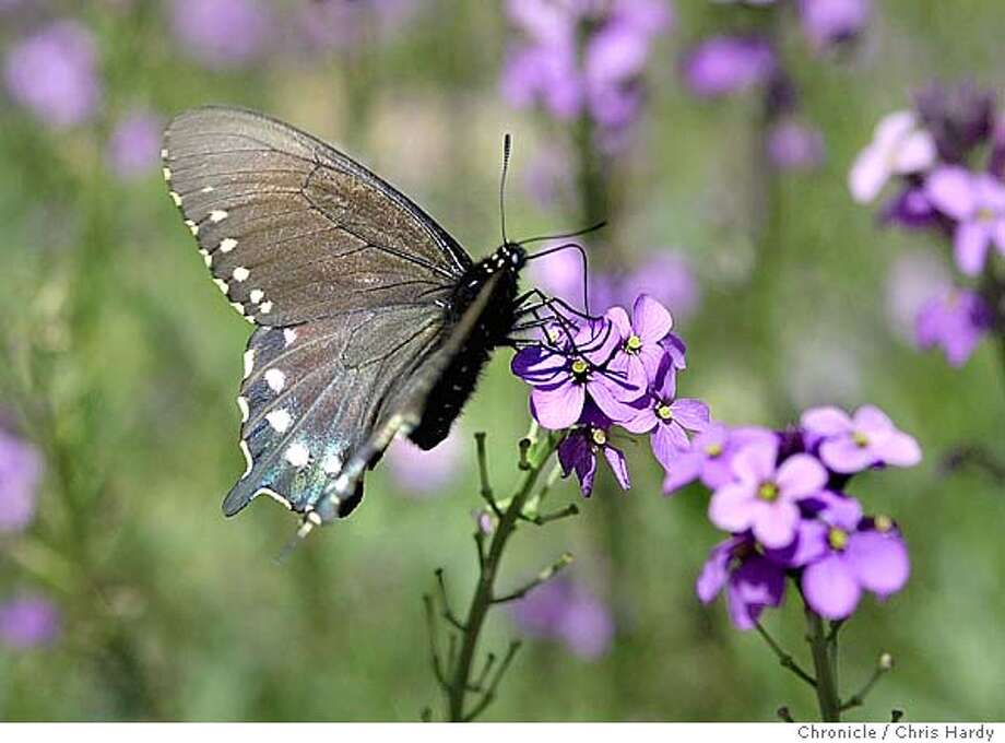 A pipeline swallowtail butterfly on some cheiranthus.  Louise Halberg and her garden, which is also a preserve for butterflies.  at Sebastopol,CA on 5/10/04  San Francisco Chronicle/Chris Hardy Photo: Chris Hardy