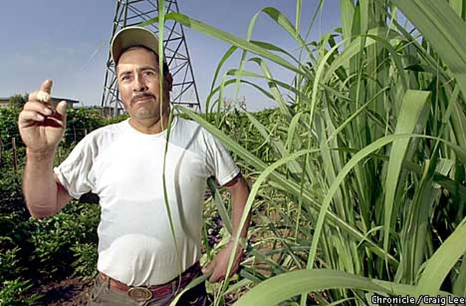 Ricardo Torres stands next to the sugar cane he grows on one of six plots he works in Hayward Community Gardens. Chronicle photo by Craig Lee