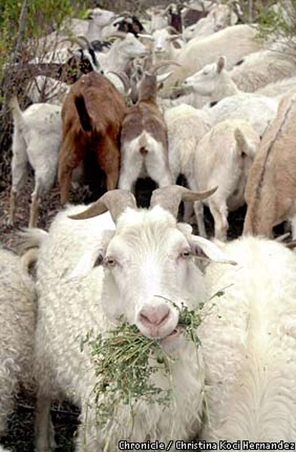 Terri Holleman's goats munch at her Goats-R-Us ranch in Orinda. Chronicle photo by Christina Koci Hernandez