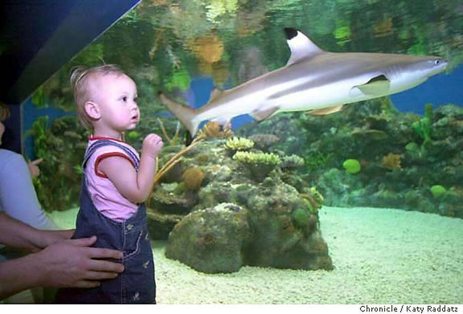 PINKSHARKS28030_rad.jpg SHOWN: One-and-a-half year-old Madisyn (cq) Dannhauser, from Corralitos, CA., takes her first look at a black tipped shark, held safely in her mother's hands. The Monterey Bay Aquarium is opening a new exhibit called Sharks: Myth and Mystery. Katy Raddatz / The Chronicle MANDATORY CREDIT FOR PHOTOG AND SF CHRONICLE/ -MAGS OUT Photo: Katy Raddatz